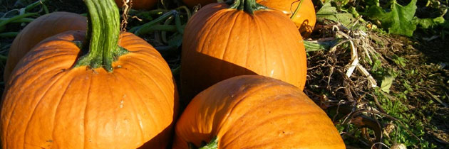 pumpkin-patch-jpg